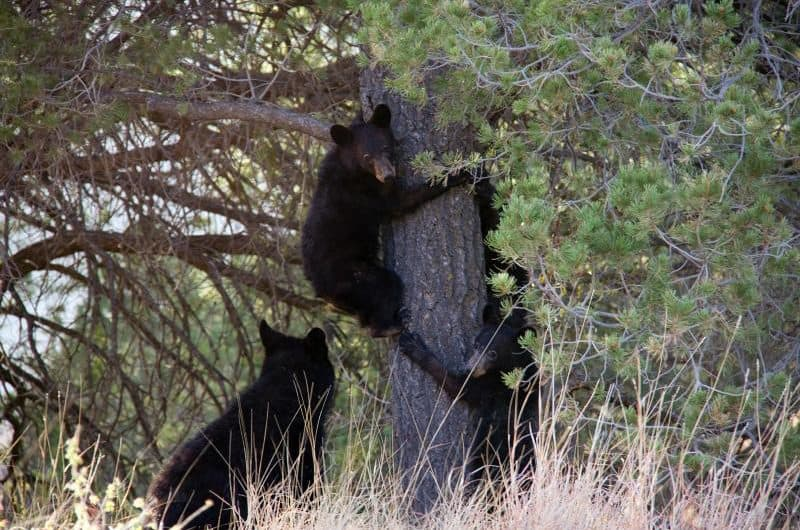 black-bear-cups-nps-photo-big-bend-national-park-800x530 Big Bend Nat'l Park