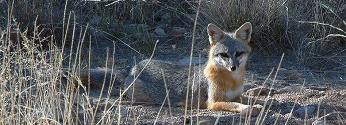 gray-fox-NPS-Photo-BigBend-National-Park Big Bend Nat'l Park