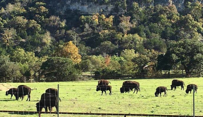 Animals-Bufalo-Herd-690-400-690x400 Guadalupe River Choices